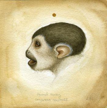 Squirrel_monkey_study