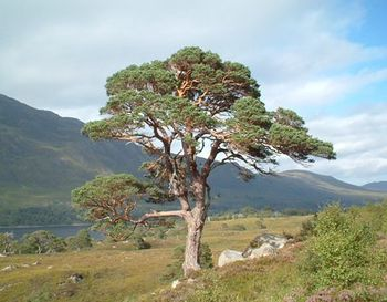 Scotspine