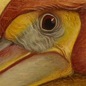 Pelican_eye_study